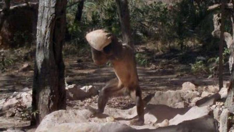 巴拿马猴类进入石器时代,科学家担忧猴子的进化会影响人类吗?