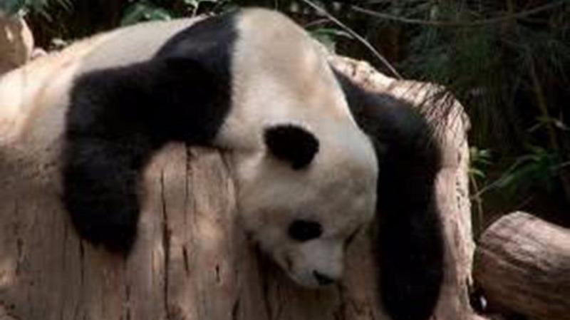 饿死熊猫,鼠患爆发,竹子开花真的是不祥之兆吗?