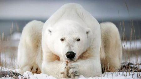 听说你们要灭绝了?北极熊:What?