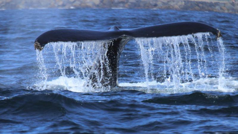 为什么鲸鱼上下摆尾,鲨鱼却左右摆尾?哪种方式游泳效率更高?的头图