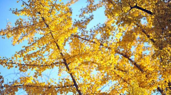 银杏树的介绍