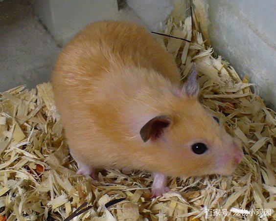 黄金地鼠该有怎样的环境去饲养它们?