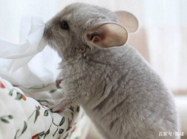 龙猫为什么是老鼠的样子??是鼠类吗?