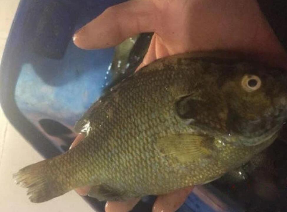 好消息!四川多地水库发现太阳鱼,可以吃,专家:并未大面积泛滥