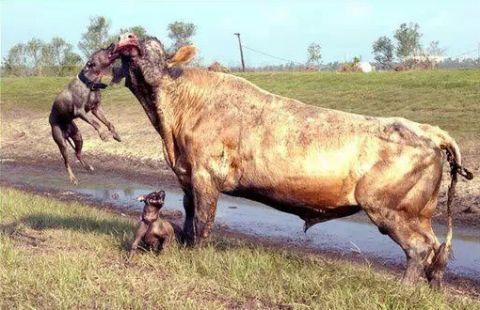 上能战野牛,下能挑藏獒,比特犬究竟怎么样?