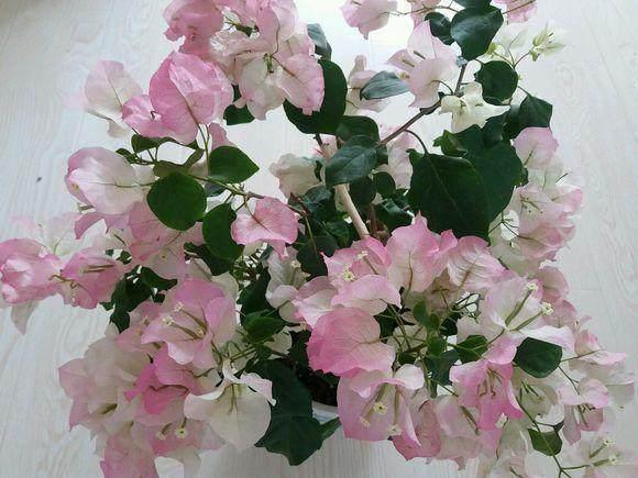 三角梅为什么猛长叶子就是不开花呢?