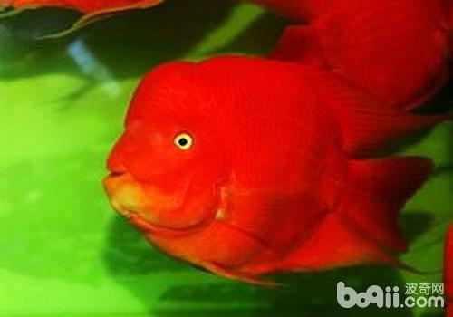 如何区分鹦鹉鱼的公母?
