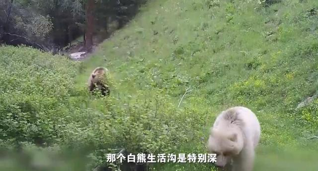 几率五十万分之一,新疆第1次发现野生白色棕熊,为什么是白色的