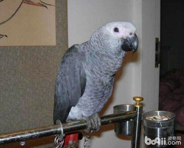 怎么养好灰鹦鹉?