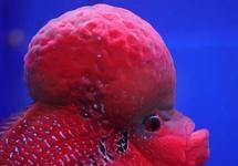 如何分辨罗汉鱼公母?