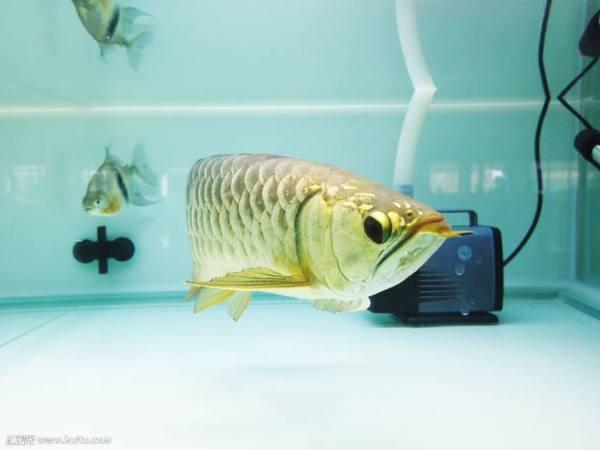 土豪们的宠物来了,如何养好银龙鱼,姿势大全送给大家?