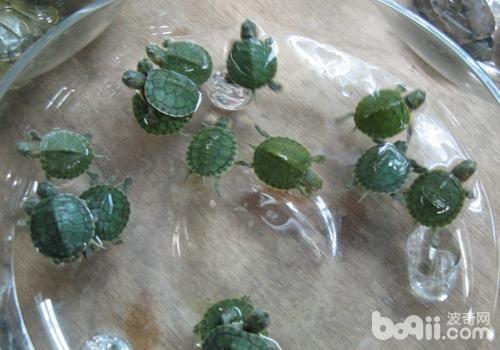 巴西龟的习性特征有哪些?