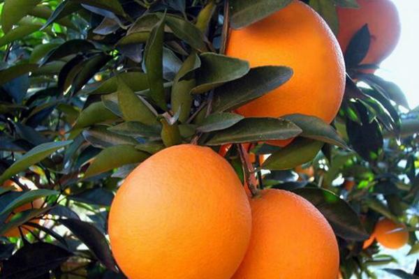 赣南脐橙产地