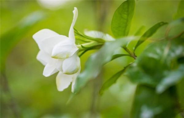 栀子花扦插注意事项,栀子花如何养,这样才能开得更美?