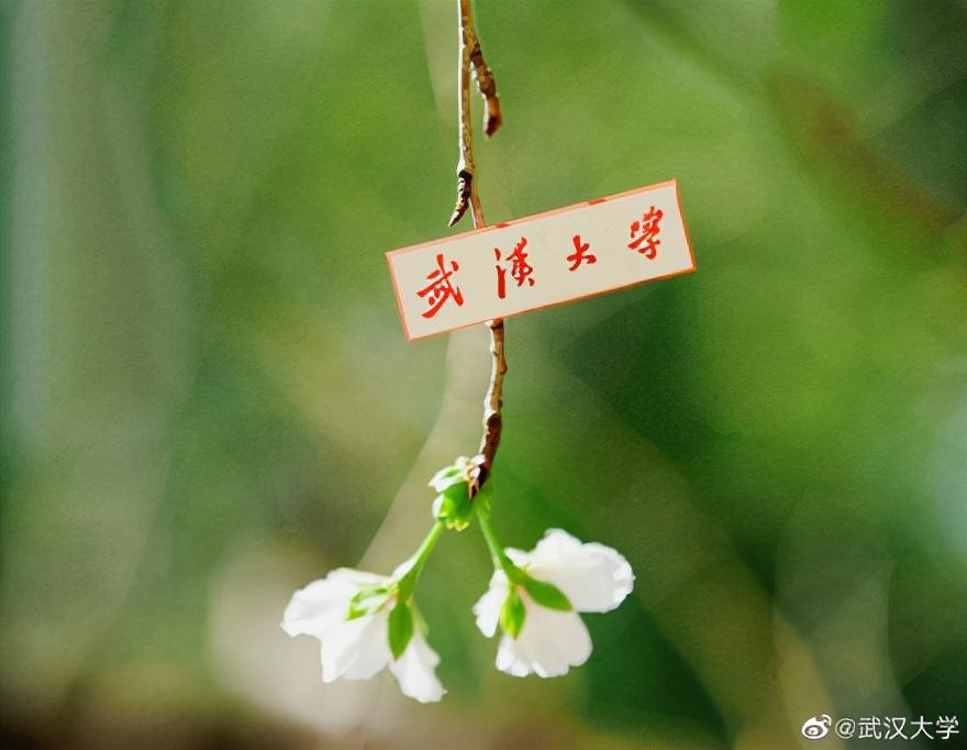 武大樱花反季节开放!气候将大变?今冬究竟是冷冬还是暖冬?