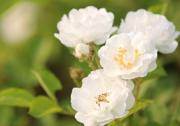 白蔷薇的花语是什么?