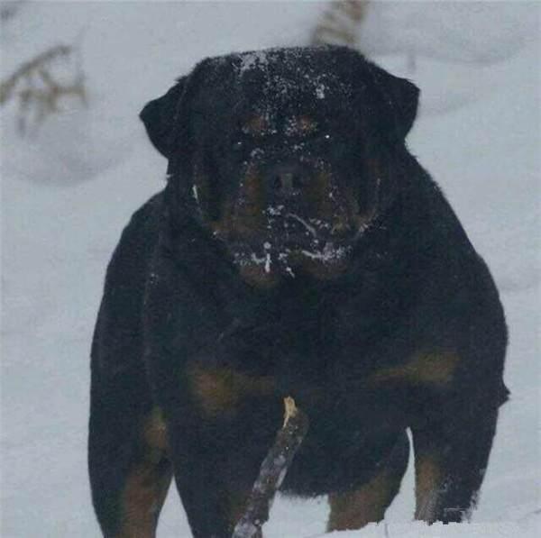 优秀的罗威纳犬是如何培养的?
