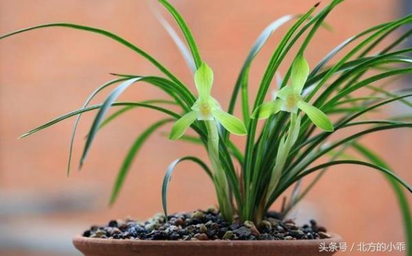 养兰心得——如何用一根筷子判断兰盆土的干湿度,新手值得收藏?