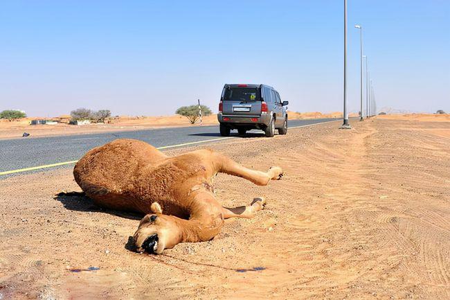 司机回忆谢大脚车祸:不知那会儿有骆驼!遇到骆驼他为何没躲过?