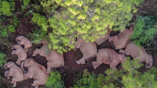 """大象非常適合""""吃播""""?每天花17個小時進食,消耗100斤食物的頭圖"""