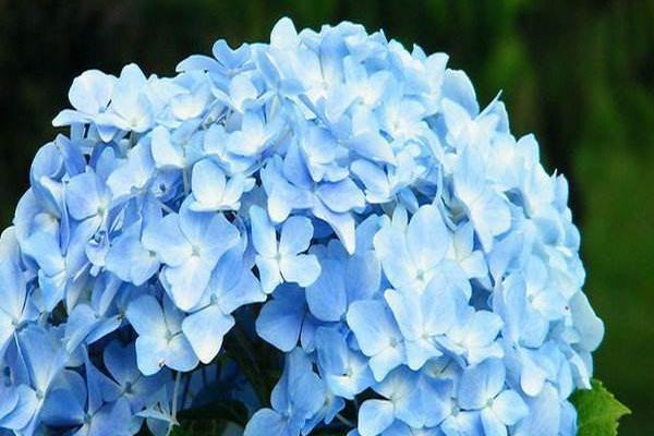 绣球花必买品种是什么?