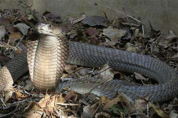 眼镜王蛇是如何分辨对方是毒蛇还是无毒蛇?