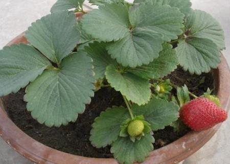 怎样在花盆里种植草莓?