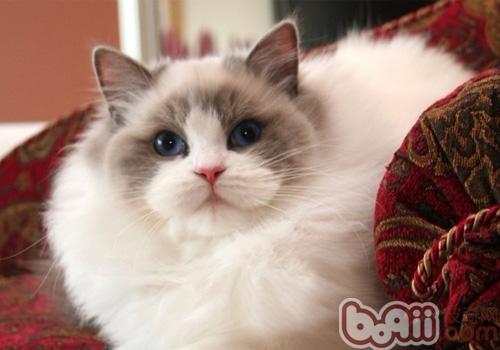 养布偶猫要注意什么?