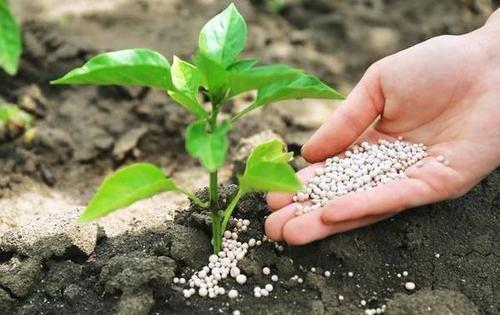 """""""鸡粪肥效高,不发烧死苗"""",农村使用有机肥都有什么技巧?"""