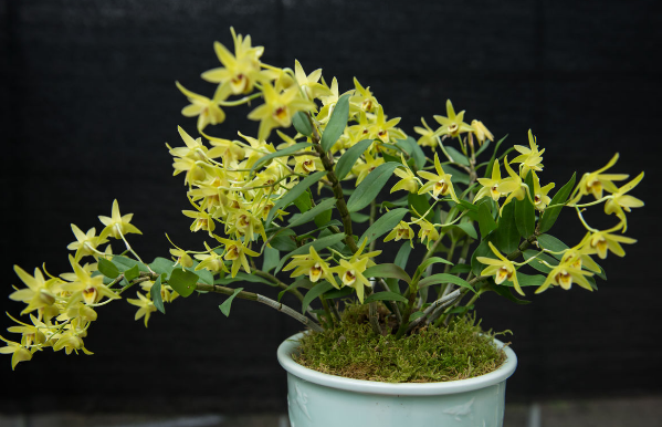铁皮石斛盆栽种植方法,养护好了真好看 石斛 盆栽 铁皮 新浪网图片