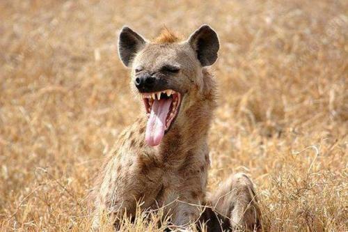 同样是群居动物,鬣狗的头目是母的,猴子的领导为什么是公的?