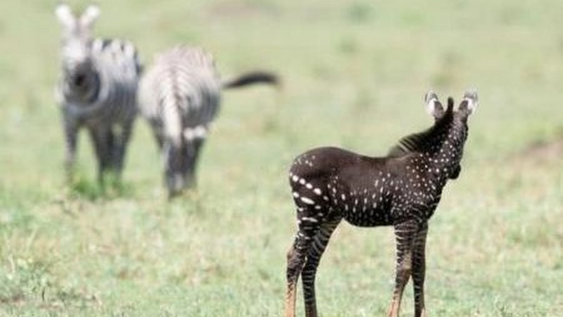 为什么被我们驯养的是野马,而不是斑马?