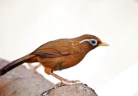 养画眉鸟要注意哪些问题?