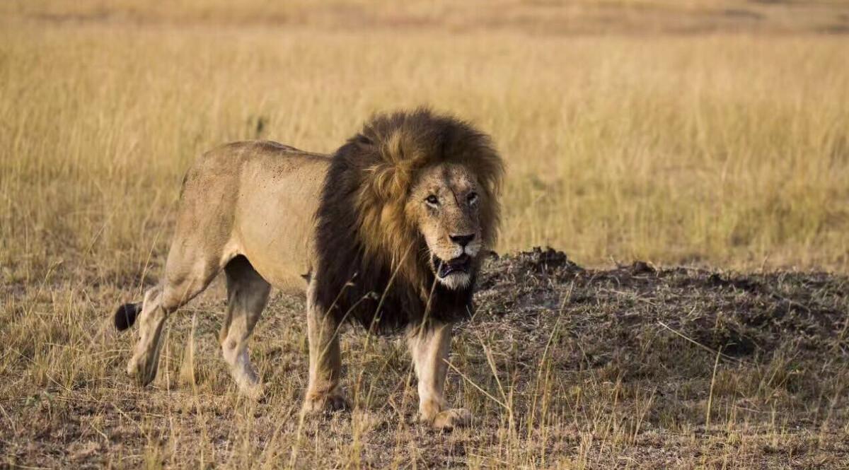 """同时拥有老虎和狮子,为什么却没有听说印度有""""狮虎斗""""发生?"""