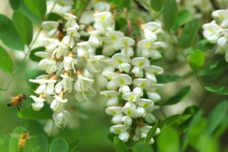 槐花特别香,那槐树哪个季节什么时候开花?