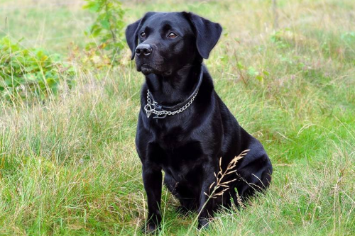 十大警犬驯服度排名是怎么样的?
