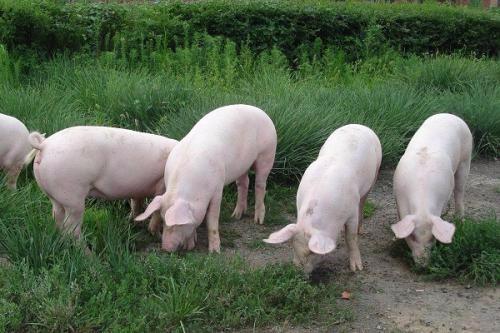 有些农村养猪的人为什么喜欢在自家猪圈吊一根铁链?