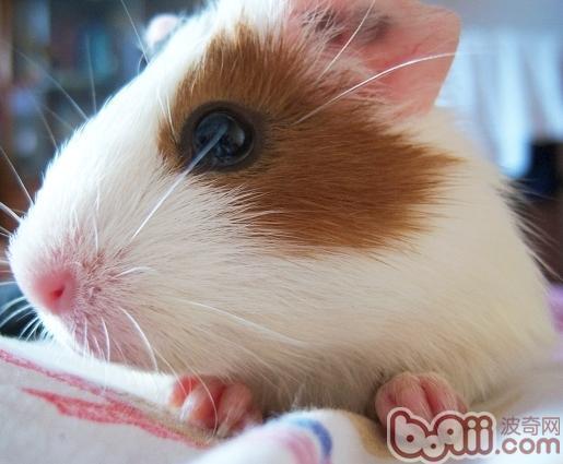 为什么荷兰猪适合和兔子混养?