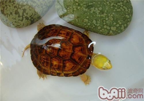 黄喉拟水龟是什么品种?