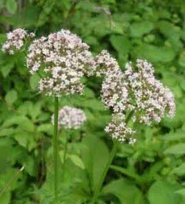 这植物叫什么名字,是一种专治跌打损伤的草药 ,在老家我们叫他八年痳 可是我不知道在书名
