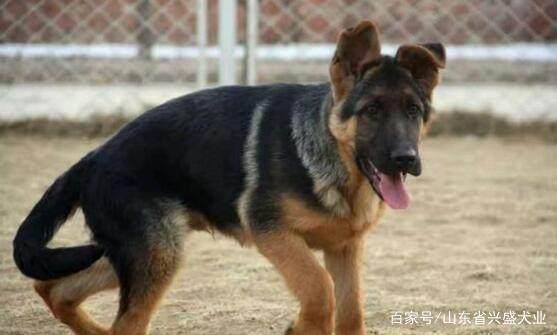 德国牧羊犬可以家养吗 为什么警犬都选择德国牧羊犬?