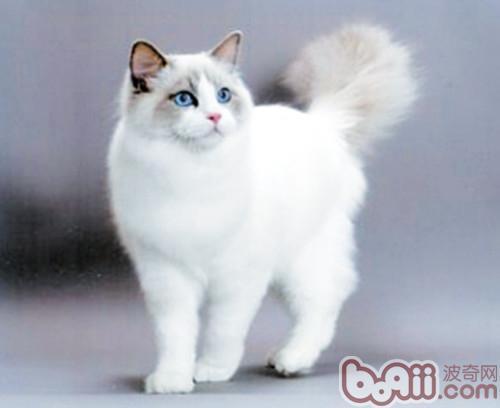 布偶猫的饲养方式有哪些?