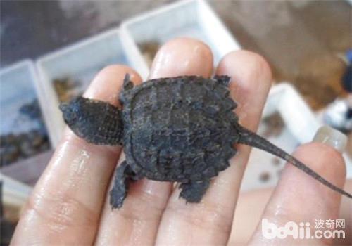 刚出生的鳄龟龟苗怎么养?