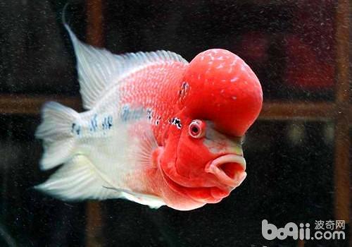 罗汉鱼应该怎么养?