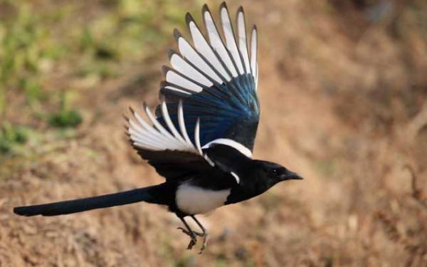 在农村总是听见喜鹊的鸣叫,可喜鹊究竟是什么样子?