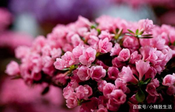 为什么你的杜鹃花总是买来开完花就挂了?
