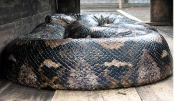 世界上最大的蟒蛇,世界上最大的蟒蛇是哪一条?