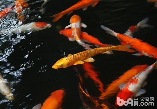 幼鱼锦鲤怎么养?