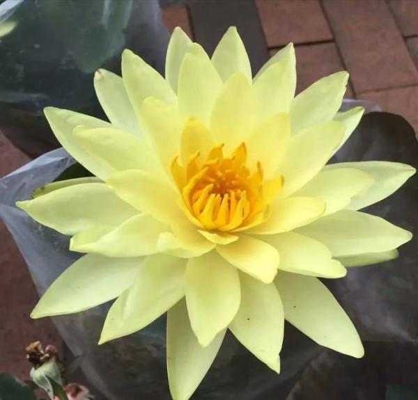 如何 在阳台栽植睡莲?