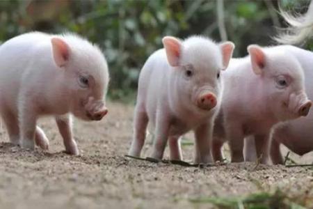 生猪价格破15元,到底是养猪户赚的多还是屠宰户赚的多?